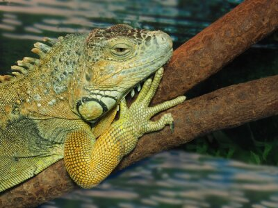 Canvas print The head of green lizard on a tree