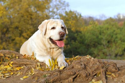 Canvas print the nice yellow labrador in the park in autumn