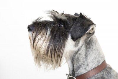 Canvas print The wise Schnauzer dog