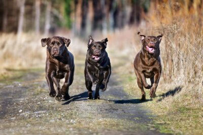 Canvas print three happy dogs running together