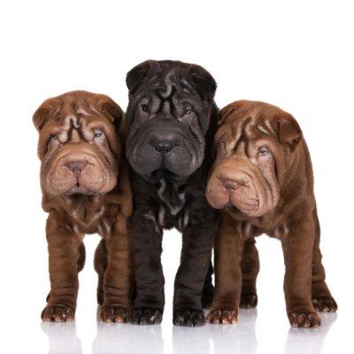 Canvas print three shar-pei puppies on white