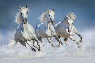 Canvas print Three white horse run gallop in snow