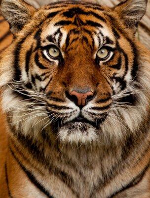 Canvas print Tiger portrait