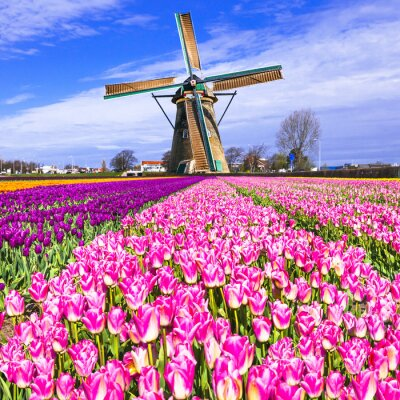Canvas print traditional Holland countryside - windmills and tulips