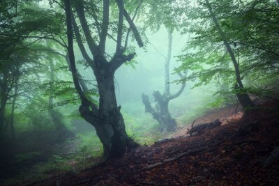Canvas print Trail through a mysterious dark old forest in fog. Autumn