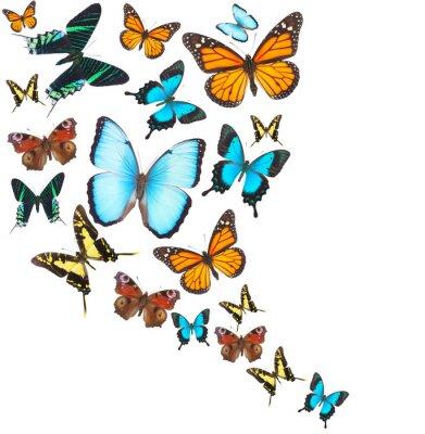 Canvas print Tropical butterflies set