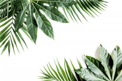 Canvas print Tropical palm leaves Aralia isolated on white background. Tropical nature concept.