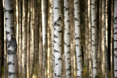 Canvas print trunks of birch trees