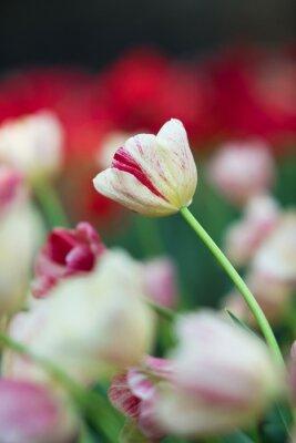 Canvas print Tulip