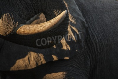 Canvas print tusk