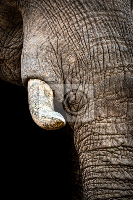 Canvas print Tusk and trunk