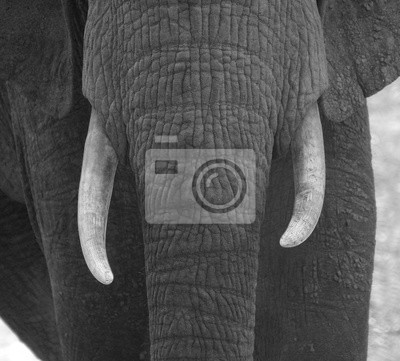 Canvas print Tusk face off