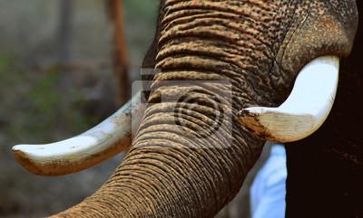 Canvas print Tusk of an Asian Elephant