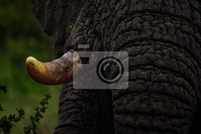 Canvas print Tusk of Elephant