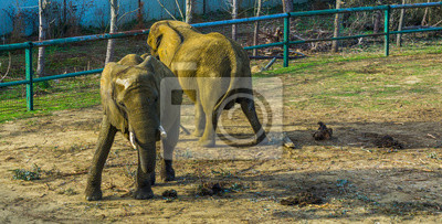 Canvas print Tusked African bush elephant swaying its body, Zoo animal behaviors, Vulnerable Animal specie from Africa