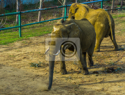Canvas print Tusked african bush elephant wiggling its body, zoo animal behavior, Vulnerable animal specie from Africa