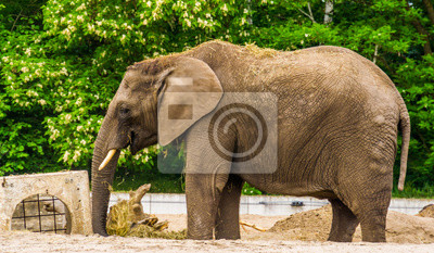 Canvas print tusked african elephant playing with some grass and putting it on its back, Vulnerable animal specie from Africa