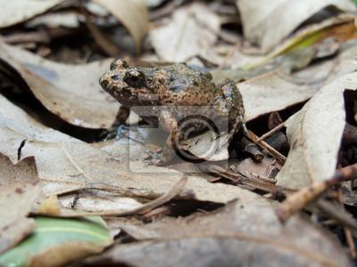Canvas print Tusked Frog (Adelotus brevis)