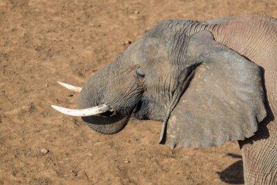 Canvas print Tusks of an Elephant