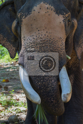 Canvas print Tusks of the elephant