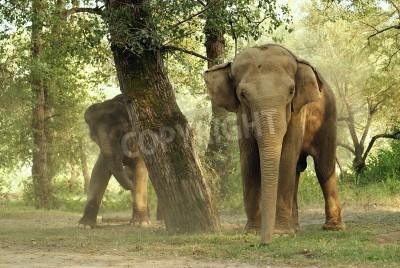 Canvas print tusks, wild, safari, large, ears, Africa, trunk., nature, its, Elephant, India