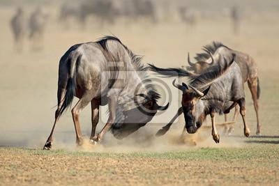 Two blue wildebeest Connochaetes taurinus) fighting for territory, Kalahari desert, South Africa.