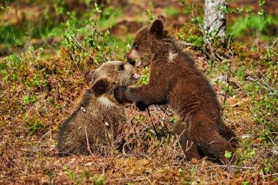 Canvas print Two brown bear cubs