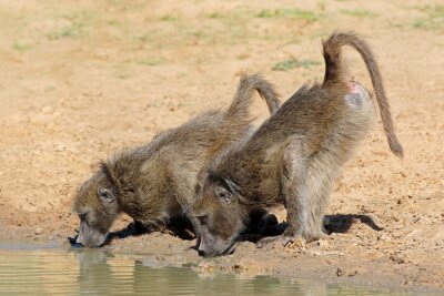 Canvas print Two chacma baboons (Papio ursinus) drinking water, Mkuze game reserve, South Africa.