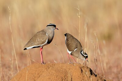 Two crowned plovers (Vanellus coronatus) standing on an anthill, South Africa.