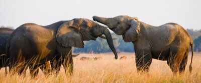 Canvas print Two elephants playing with each other. Zambia. Lower Zambezi National Park. Zambezi River. An excellent illustration.