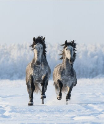 Canvas print Two galloping Andalusian stallions