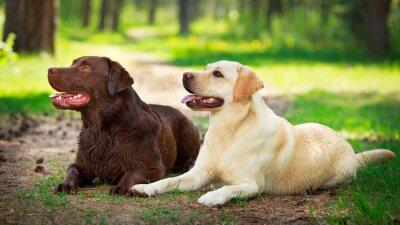 Canvas print two  labrador retriever dog