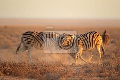 Two Plains (Burchells) Zebra stallions (Equus burchelli) fighting, Etosha National Park, Namibia.