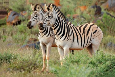 Two plains (Burchells) zebras (Equus burchelli) in natural habitat, South Africa.
