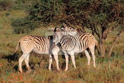 Two plains zebras (Equus burchelli) in natural habitat, South Africa.