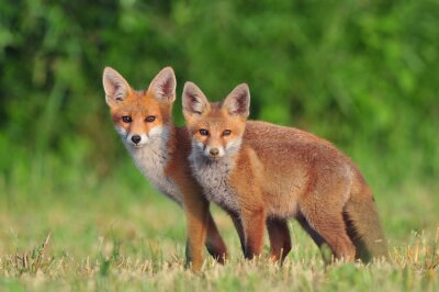 Canvas print Two red foxes
