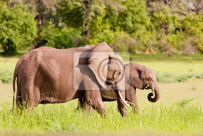 Two Wild African elephants feeding in the savannah
