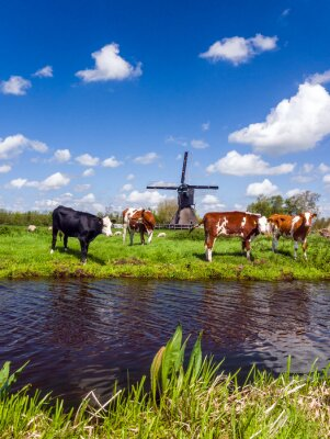 Canvas print Typical Dutch landscape with cows in the meadow and a windmill near the water