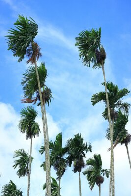 Vertical Photo of Green Sugar Trees Blowing in the Wind under Blue Sky  of Thailand