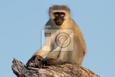 Vervet monkey (Cercopithecus aethiops)