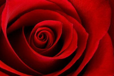 Canvas print Vibrant Red Rose Close Up Macro - Abstract