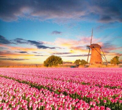 Canvas print Vibrant tulips field with Dutch windmill