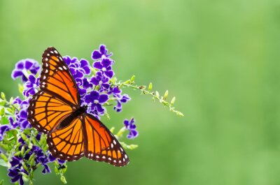 Canvas print Viceroy butterfly (Limenitis archippus) on blue flowers