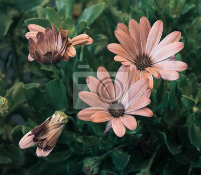 vintage brown african/cape daisy/marguerite blooms,green leaves,buds,on natural background in fine art still life vintage painting style
