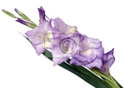 violet gladiolus flower