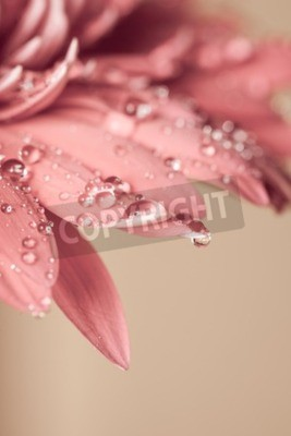 Canvas print Water drop on the pink flower, very close up
