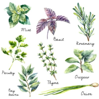 Canvas print Watercolor collection of fresh herbs isolated.