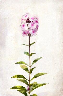 Canvas print Watercolor pink phlox