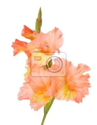 wet gladiolus flower