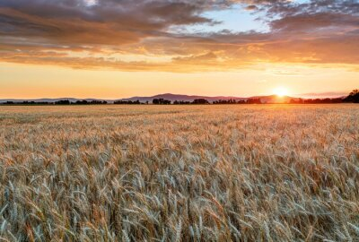 Canvas print Wheat field at sunset